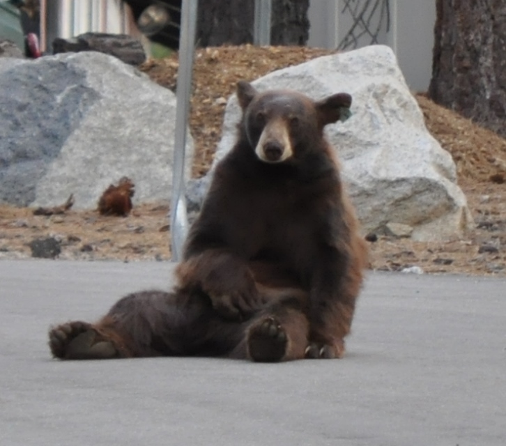 This bear cub is sitting in front of a neighbor's house watching my children play soccer.